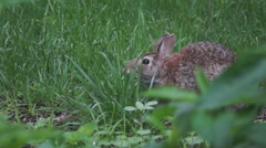 Bunny munching spring 1 - stock footage