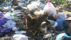 Chickens foraging amongst large pile of plastic garbage Stock Footage
