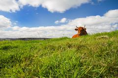 Cow lying on the grass Stock Photos