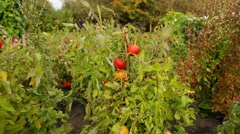 Tomatoes Ripening on the Vine Stock Footage