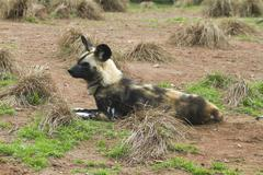 African painted wild dog (Lycaon pictus) - stock photo