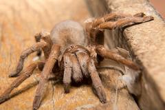 Spider. Tarantula. Stock Photos