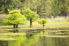 Landscape of wetland. Trees living in the water. Stock Photos