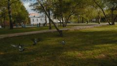 Doves flying in the city park, green grass, sunset Stock Footage