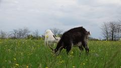 Stock Photo of Black goats grazing on green meadow at edge of farms