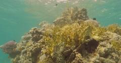 Underwater fire corals 4K Stock Footage
