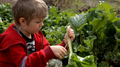 Boy cleans rhubarb in the garden Stock Footage