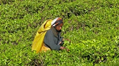 Women from Sri Lanka harvested tea leaves Stock Footage