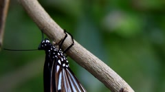 Blue tiger butterfly close up clinging  Stock Footage
