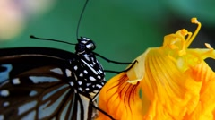 Blue tiger butterfly blue tiger butterfly close up showing eyes division and mov Stock Footage
