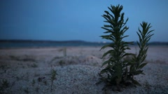 Little Blooming Plant on the Beach Stock Footage