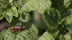 Colorado beetles on a bed of potato Stock Footage