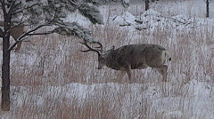 Dominant Mule Deer Buck Threatens Subordinate Buck and Grunts--With Audio Stock Footage