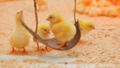 Small chicks play and relax in the paddock - stock footage