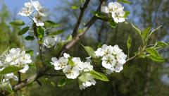 Branches of pear tree in blossom swaying on the wind  Stock Footage