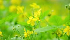 Blooming celandine Stock Footage