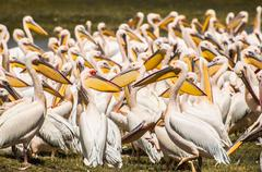 Pelicans at the Lake - stock photo