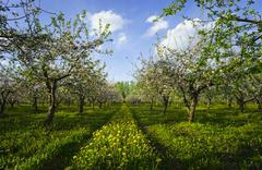 Blossoming apple orchard Stock Photos