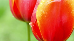 Red tulips on the nature - stock footage