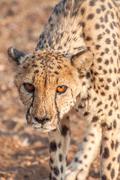 Cheetah Prowling - stock photo