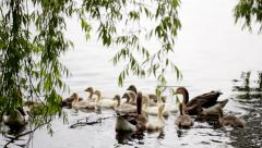 Domestic geese in the pond - stock footage