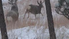 Mature Mule Deer Buck Charges Smaller Buck--50% Slow Motion and Not Stabilized Stock Footage