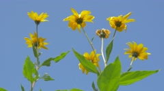 Jerusalem artichoke   blossom  against blue sky 4K 2160p UHD video - Helianth - stock footage