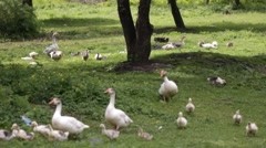 Stock Video Footage of Domestic geese in the pond