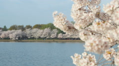 4K Cherry Blossoms and Tidal Basin Rack Focus 3 - stock footage