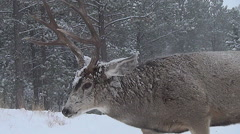 Closeup Low Angle View of Buck Walking in Snowstormm, Threatening Rival Buck Stock Footage