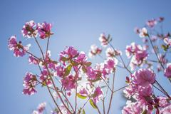Ledum Siberia, pink spring flowering shrub, Rhododendron Ledebour Stock Photos