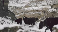 Herd of yaks crosses a pass on a snow covered mountain Stock Footage