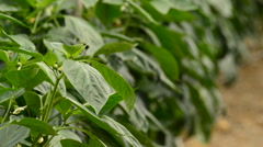 Leaves and flower of pepper fruit plant inside a greenhouse Stock Footage
