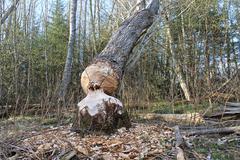 Felled tree by beaver. Stock Photos