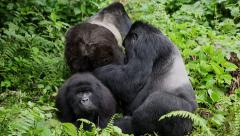 Mountain Gorillas Grooming - Socializing Stock Footage