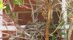 Busy Robins Stock Footage
