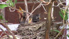 American robin (Turdus migratorius) chicks - stock footage