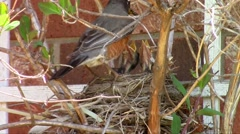American robin (Turdus migratorius) Stock Footage