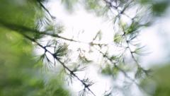 Sun shining through branches of larix tree with new green needles. Stock Footage