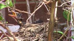 American robin (Turdus migratorius) Chicks grooming Stock Footage