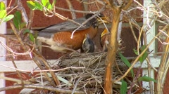 American robin (Turdus migratorius) in the nest - stock footage
