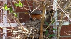 Momma robin settles in Stock Footage
