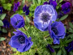 Close-up of anemone - stock photo