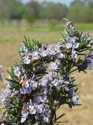 Rosemary plant with flowers - stock photo