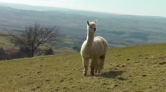 A Llama stands in Welsh landscape and looks around Stock Footage