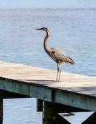 Great Blue Heron on dock - stock photo