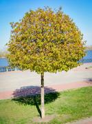 Young Maple Tree - stock photo