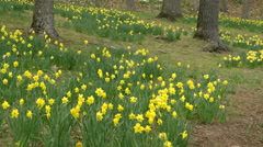 Daffodil fields between trees in nature park Stock Footage