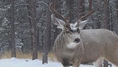 Mule Deer Buck in Snowfall Courts Offscreen Doe and Grunts Twice w Audio Stock Footage
