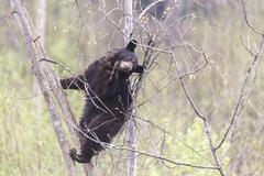 A large black bear - stock photo